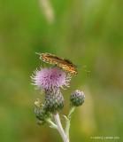 Brun Pletvinge (Melitaea athalia)