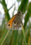 Okkergul randøje (Coenonympha pamphilus)