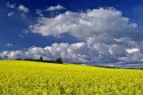 Yellow Rapsodie