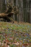Zweiblättriger Blaustern (Scilla bifolia) Übersicht