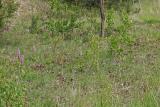 Helmknabenkraut (Orchis militaris) im Biotop