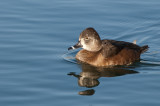 Ring-necked Duck, female