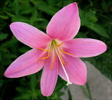 Zephyr Lily