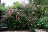Mutabilis Rose...a very old and large rose bush