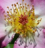 Single petaled Rose