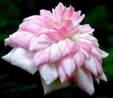 Pink Poodle ~ Miniature Rose
