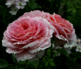 Rose...James Galway ...on a misty day