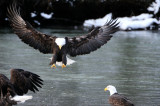 2008 Haines Alaska Bald Eagle Festival