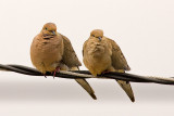 6/18/2010  Mourning Doves