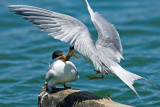 6/20/2010  Tern feeding young
