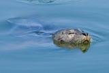 6/21/2010  Harbor Seal