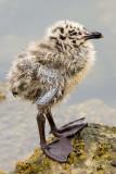 7/10/2010  Baby gull