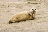 7/12/2010  Harbor Seal at Moss Landing