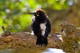 7/19/2010  Acorn Woodpecker