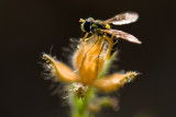 8/3/2010  Hover Fly