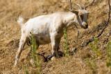 8/22/2010  Goat