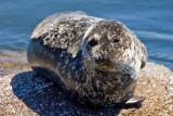 9/1/2010  Harbor Seal