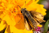 9/10/2010  Skipper butterfly