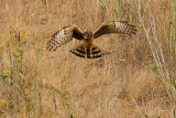 10/4/2010  Harrier