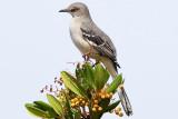 10/16/2010  Northern Mockingbird
