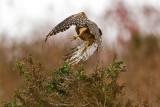 10/30/2010  Red-Shouldered Hawk Taking off