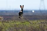 11/24/2010  Black-tailed jackrabbit