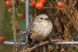 11/26/2010  Yellow-rumped Warbler