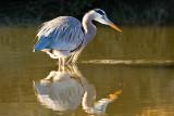 11/28/2010  Great Blue Heron