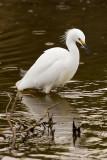 12/20/2010  Snowy Egret