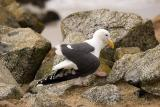 Pacific Gull with broken wing
