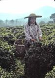 Mei Jia Wu Tea Production Brigade, picking tea leaves, Hangzhou, China