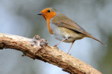 Robin. Barnwell Country Park, Oundle. UK.