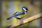Great Tit. Barnwell Country Park, Oundle. UK