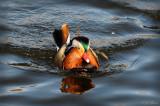 Mandarin Duck, Pensthorpe. Norfolk. UK