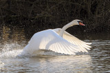 Mute Swan. Barnwell Country Park. Oundle. UK