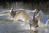 Mute Swans. Barnwell Country Park. Oundle. UK