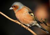 Chaffinch. Barnwell Country Park. Oundle UK