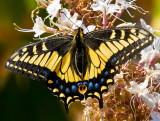 Butterfly color_MG_0044.jpg