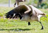 One angry goose_MG_9633.jpg
