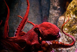 Giant Octopus_MG_8041.jpg