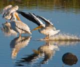 Landing on a reflecting pond_MG_4340.jpg