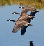 Synchronized Geese_MG_4883.jpg