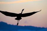 Heron in black_MG_4976.jpg