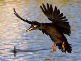 Dark Duck Landing_MG_7403.jpg