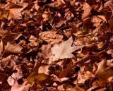 Dried fall leaves_MG_7698.jpg