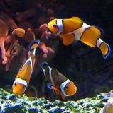 Nemo  was a triplet?  6319.jpg