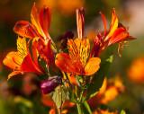 Orange flowers  _MG_8667.jpg