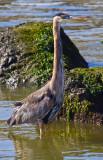 Standing Heron _MG_4915.jpg