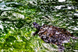 Water with turtle _MG_5764.jpg
