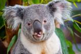 Rude Koala _MG_5615.jpg